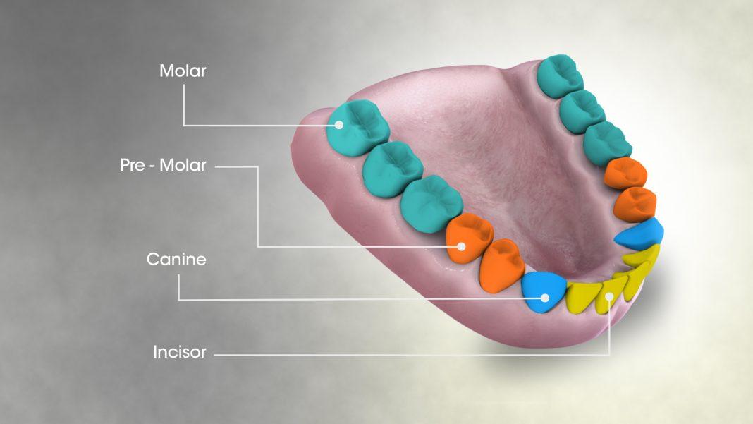 Dentes molares